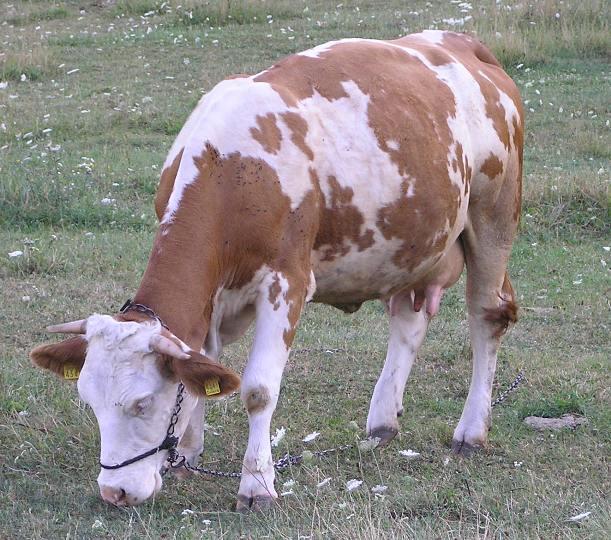 Pronađene lešine krava na pašnjacima kod Sunje